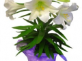 Easter Lilly Triple 30.00