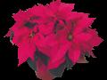 11209_Poinsettias_Mid-Season_Pollys-Pink_13_adobespark