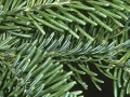 balsam-fir