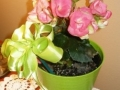 RIEGERS BEGONIA