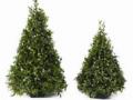 "BOXWOOD TREES 15"""